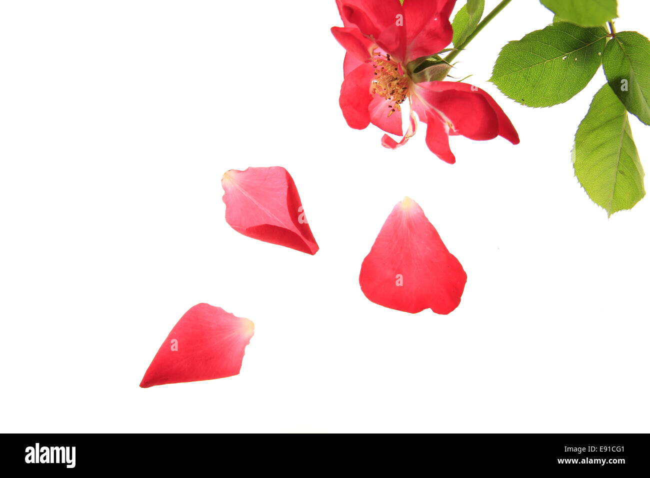 red rose with falling petals - Stock Image