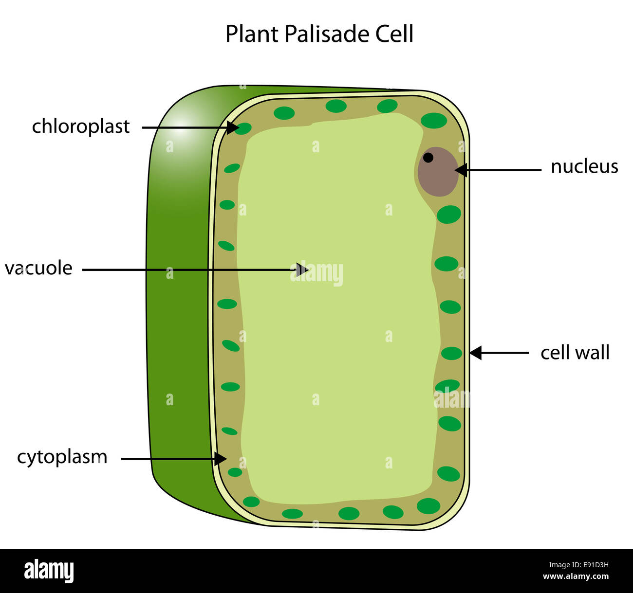 labeled diagram of a plant palisade cell where photosynthesis takes rh alamy com plant palisade cell diagram palisade mesophyll cell diagram