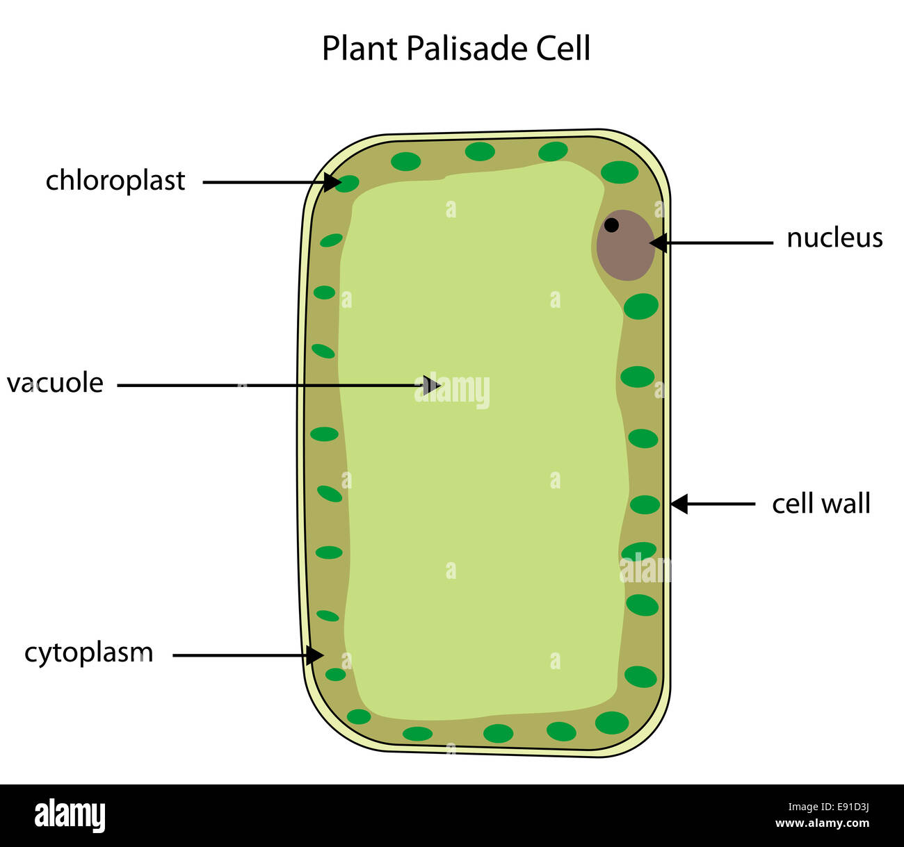 Plant cell nucleus stock photos plant cell nucleus stock images labeled diagram of a plant palisade cell where photosynthesis takes place stock image ccuart Gallery