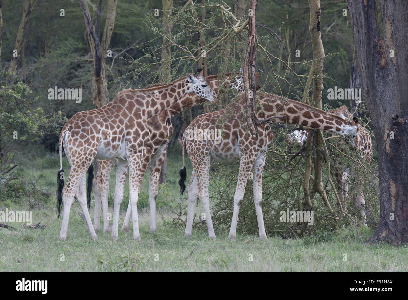 Rothschild's Giraffe feeding - Stock Image