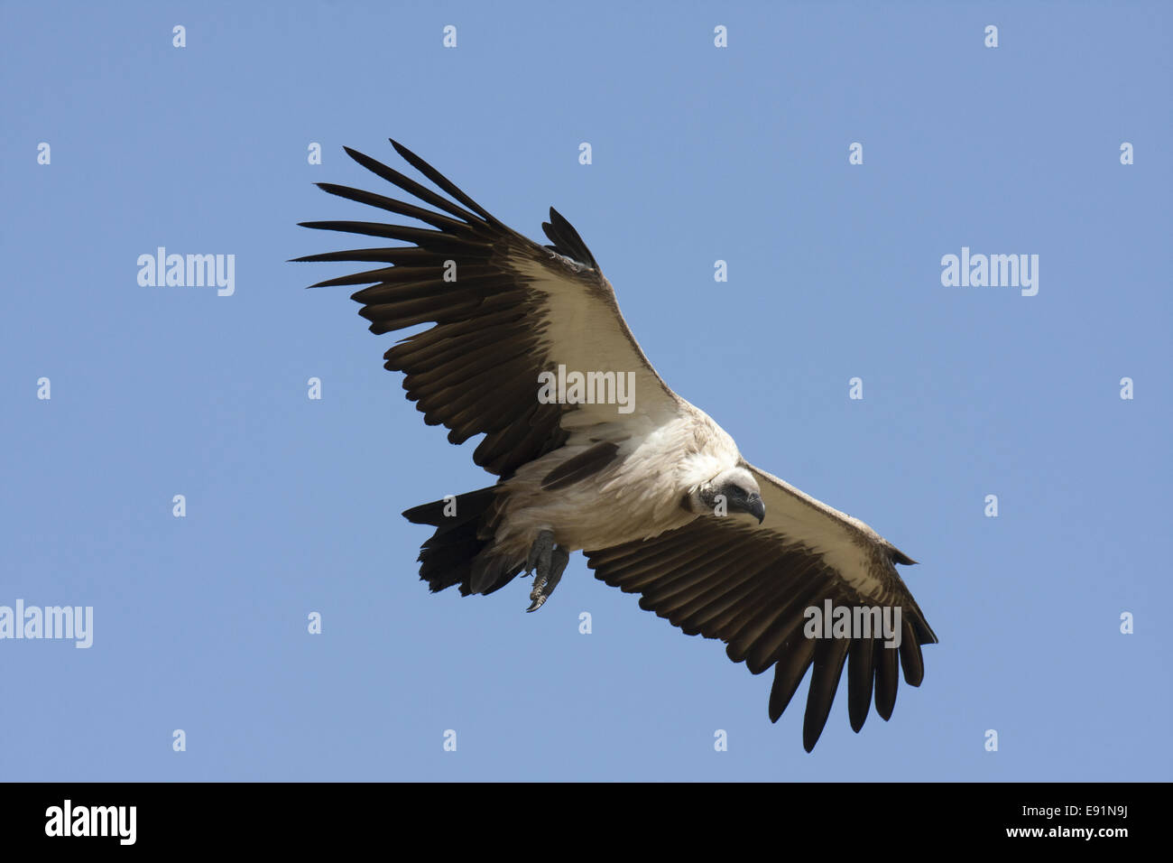 White backed Vulture in flight Stock Photo
