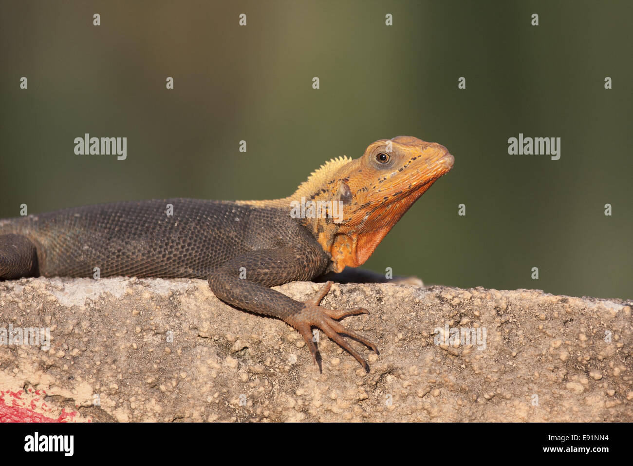 Male Agama taking Sunbath - Stock Image