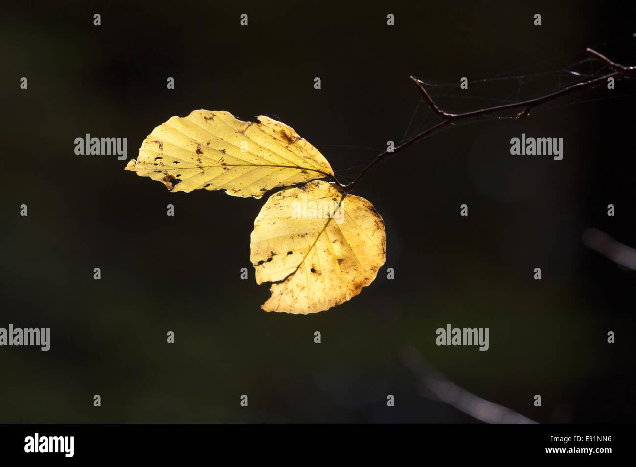 Beech ree in autumn Stock Photo