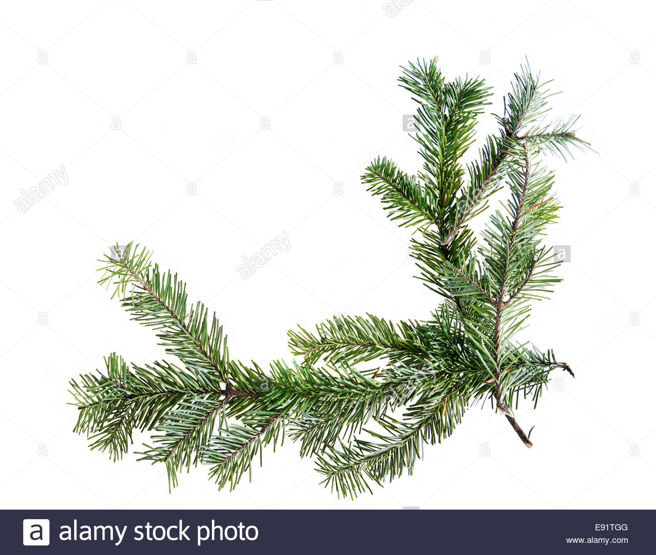 Design element.  Corner of spruce branches - Stock Image