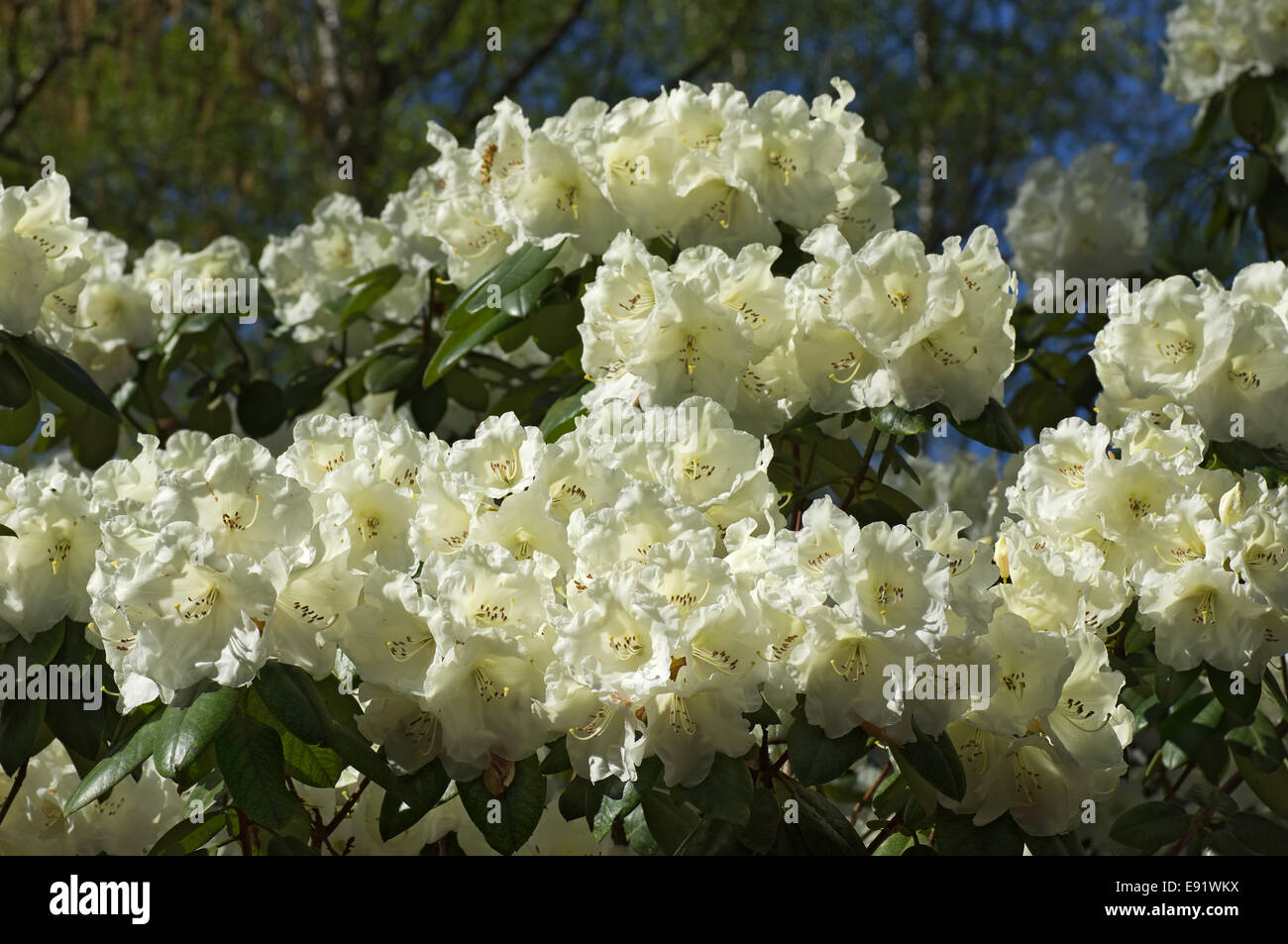 White Flowered Rhododendron Stock Photo 74415486 Alamy