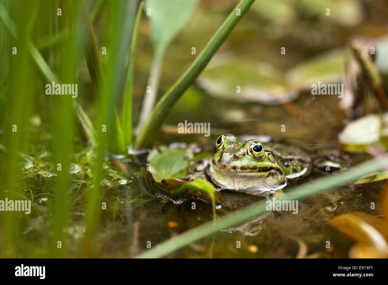 Edible Frog (Pelophylax kl. esculentus) - Stock Image