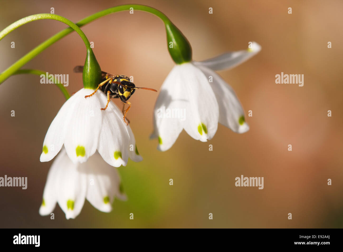wasp on sprin snowflake blossom - Stock Image