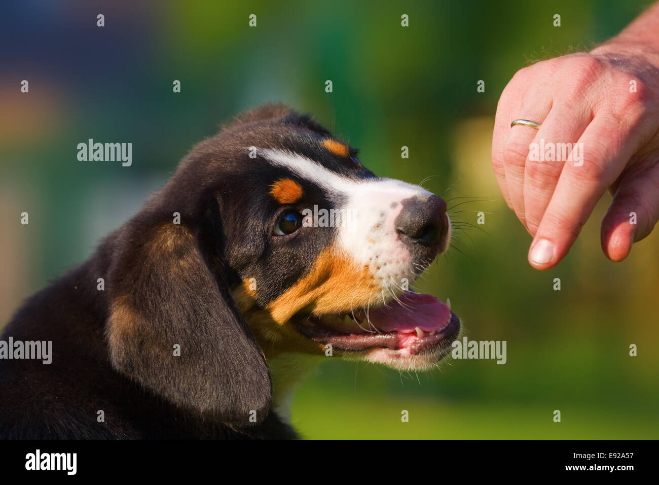 hand reaches at a puppy - Stock Image