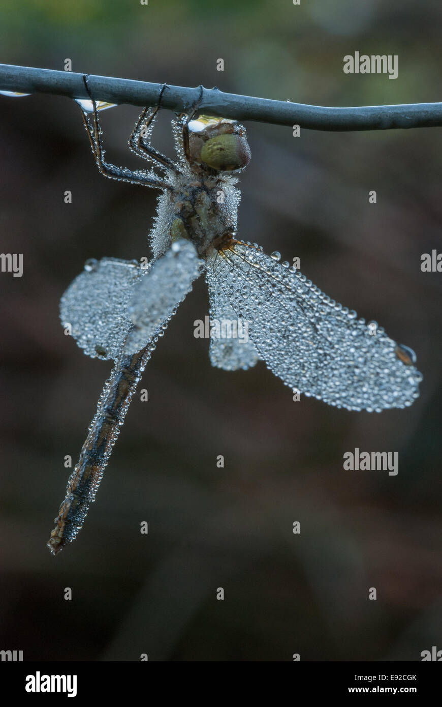 Black Darter, Sympetrum danae - Stock Image