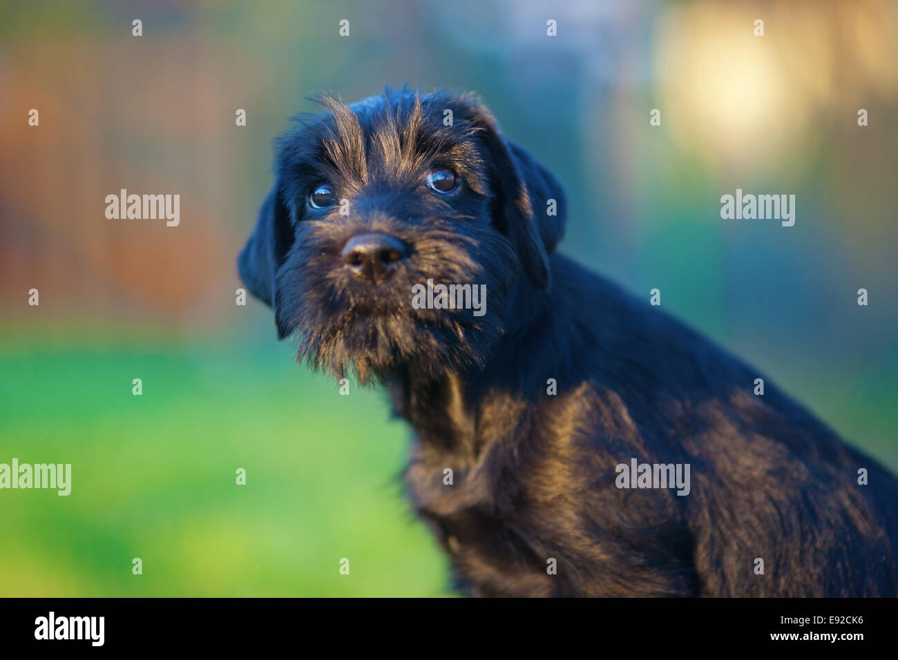 puppy looks obedient up - Stock Image