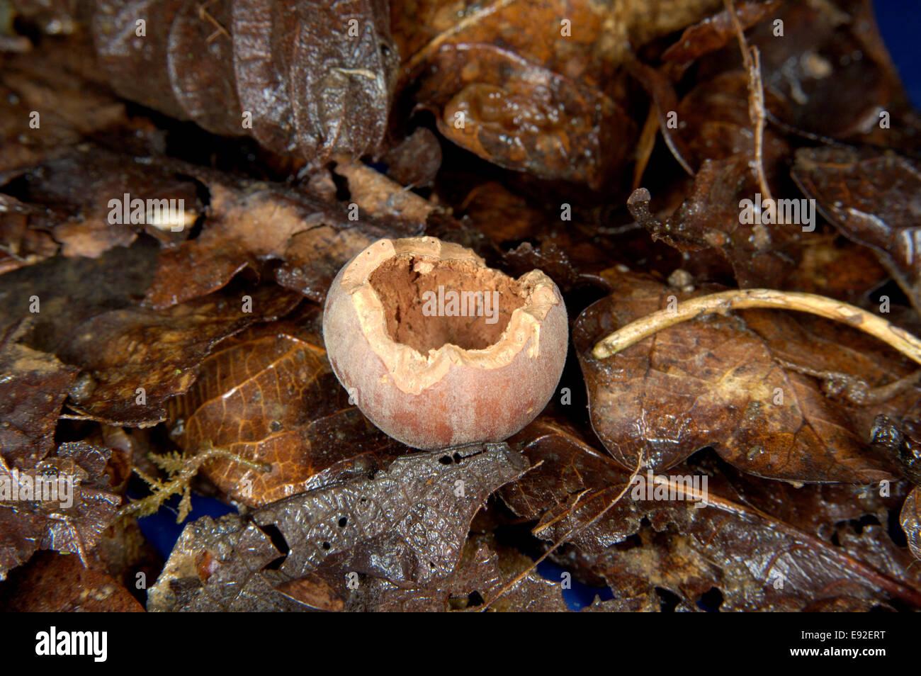 Grey Squirrel nibbled nut - Sciurus carolinensis - Stock Image