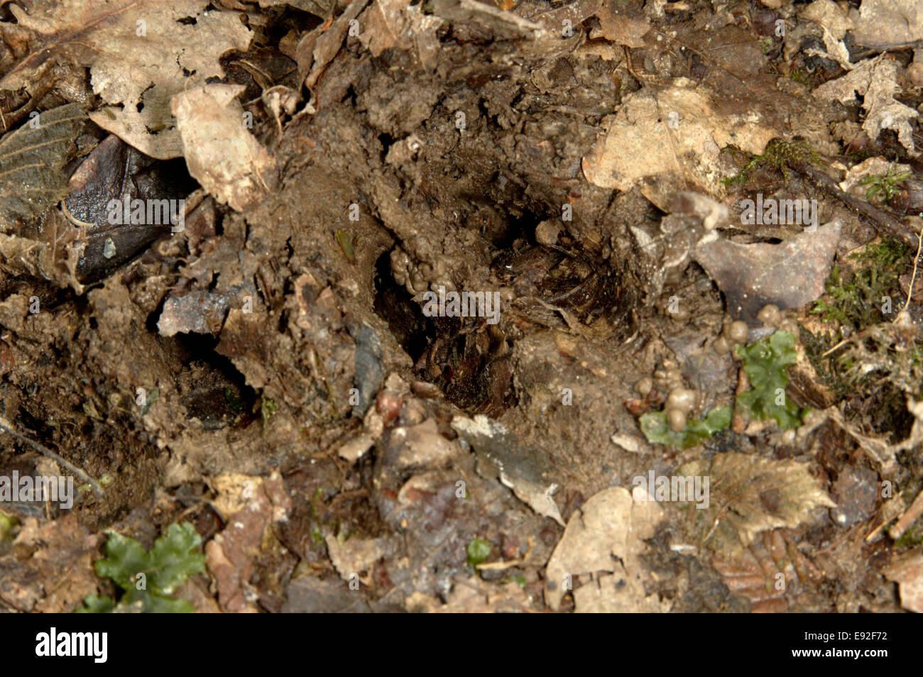 Roe Deer hoof print - Capreolus capreolus - Stock Image