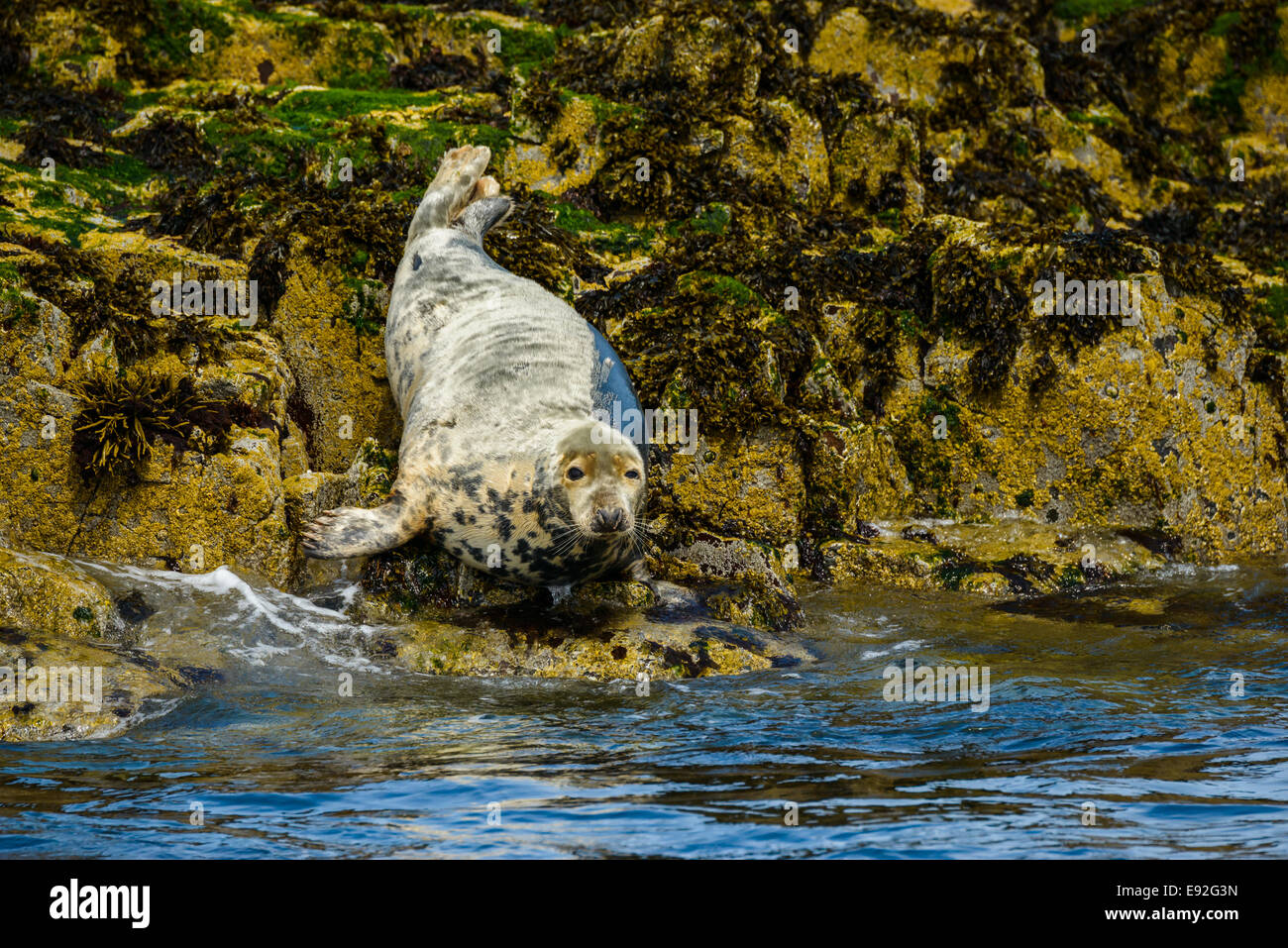 A young, molting moulting Atlantic Grey Seal Gray (Halichoerus grypus) on rocks at the water's edge, looks at camera. Stock Photo