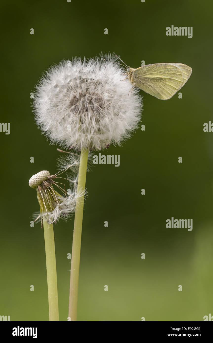 Small White  (Pieris rapae) - Stock Image