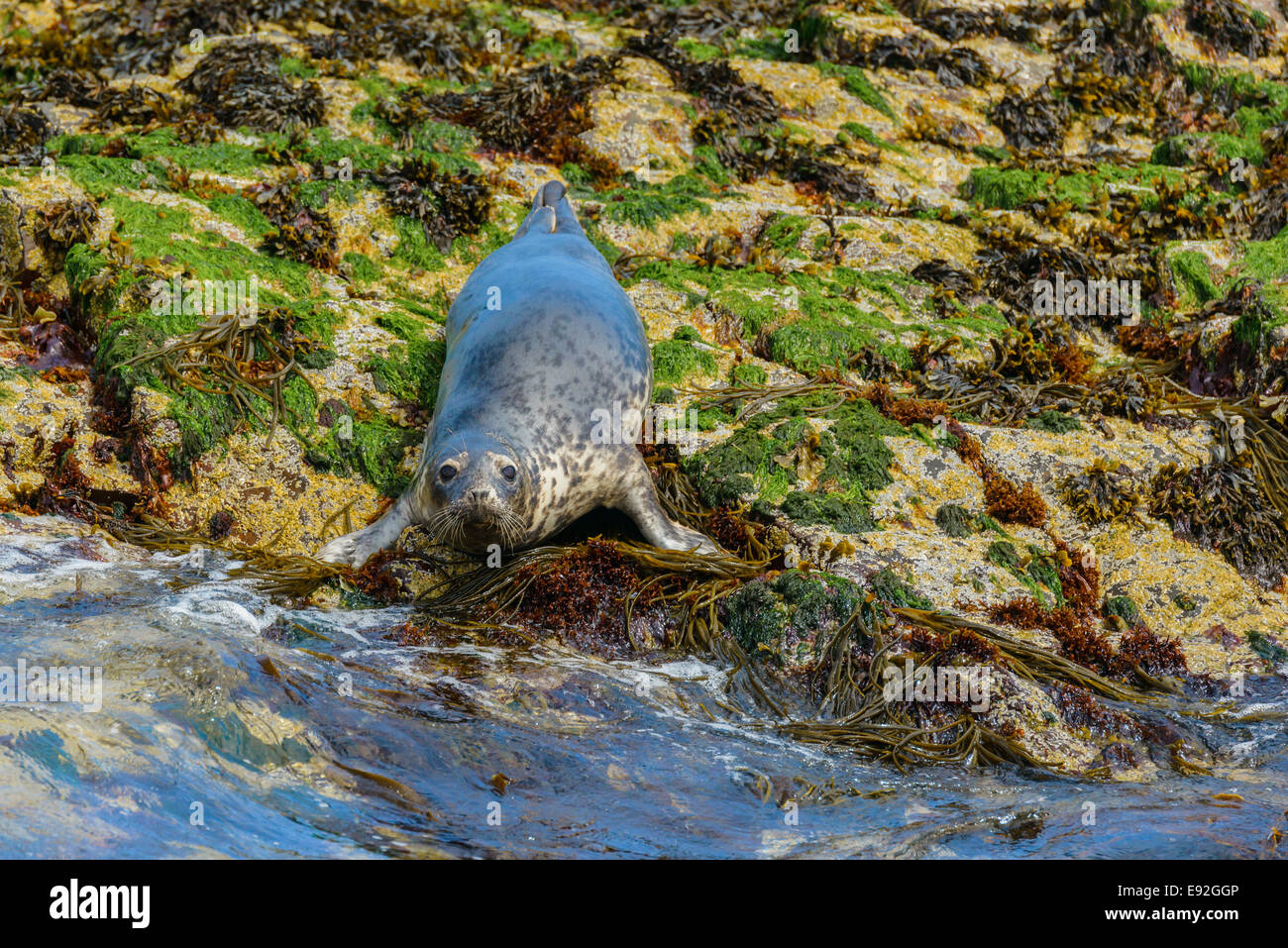 A lone Horsehead Seal (Halichoerus grypus) looks up at camera from rocky natural habitat. - Stock Image
