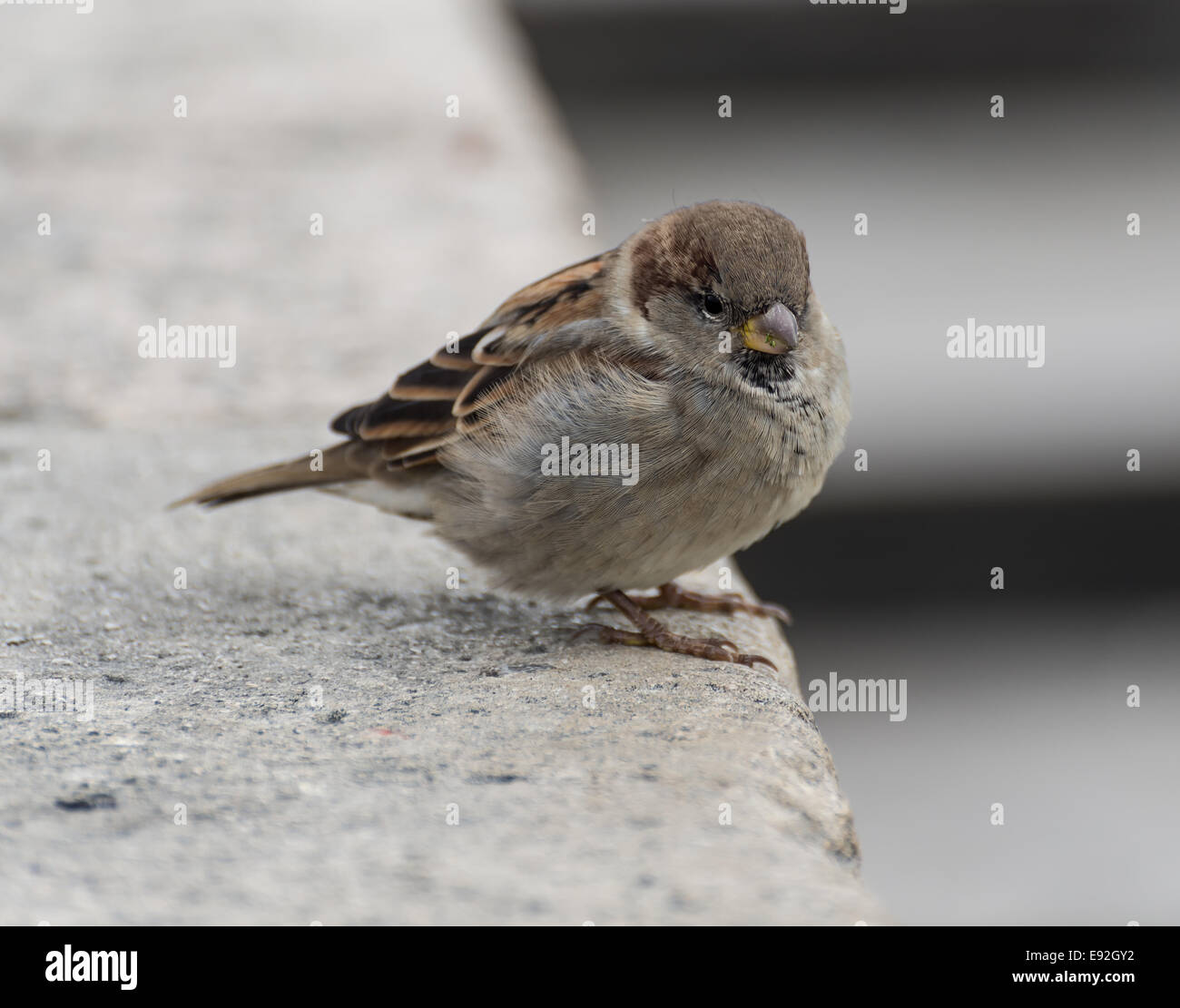 A lone sparrow sits patiently for it's next meal. - Stock Image