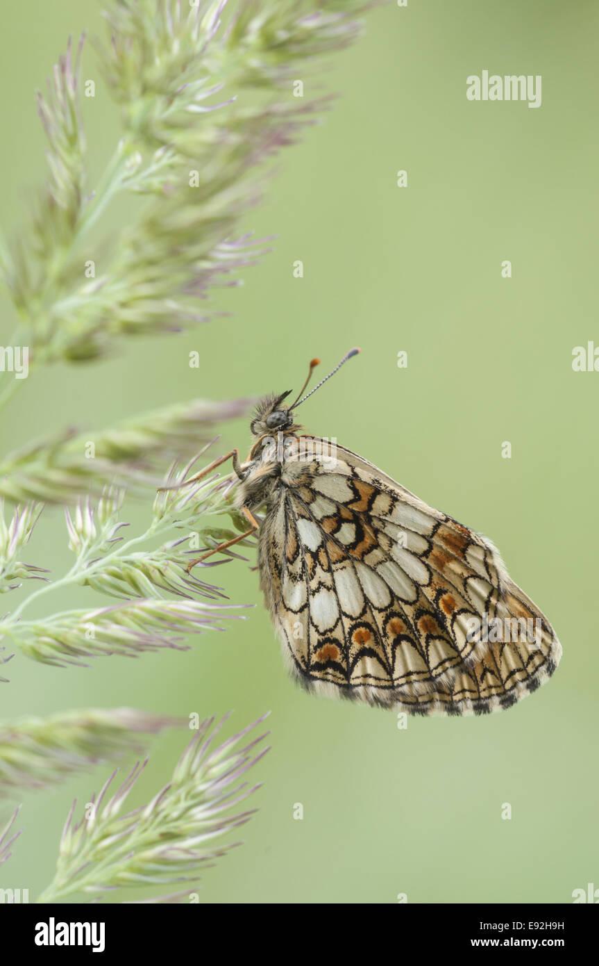 Heath Fritillary, (Melitaea athalia) - Stock Image
