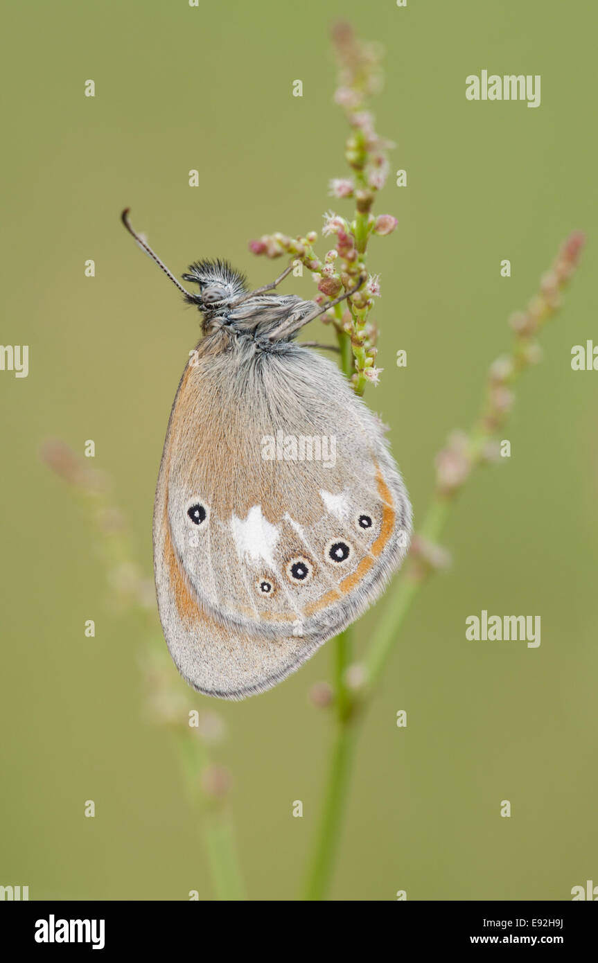 brush-footed butterfly (Coenonympha glycerion) - Stock Image