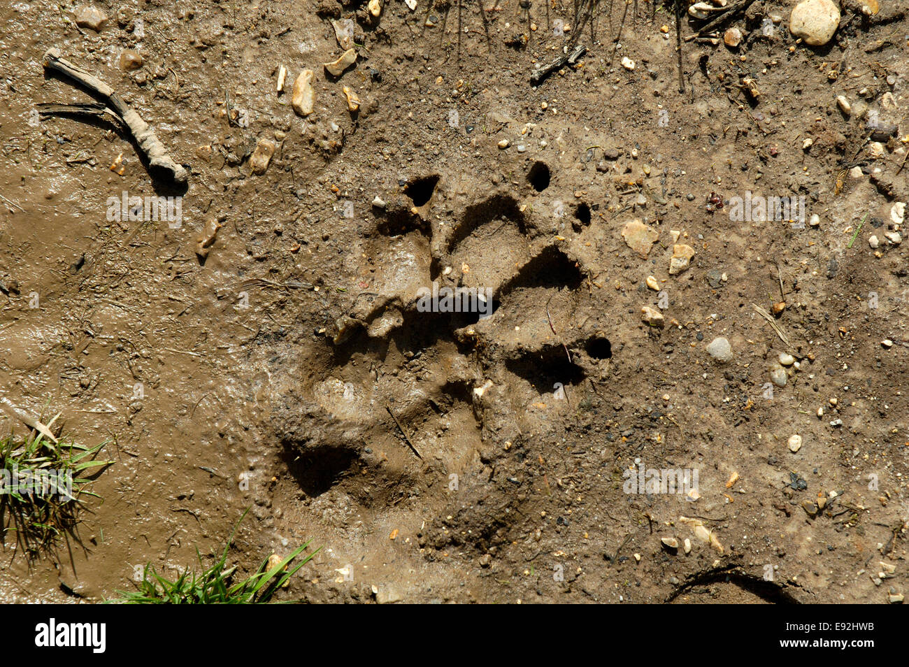 Dog Print - Canis lupus familiaris - Stock Image