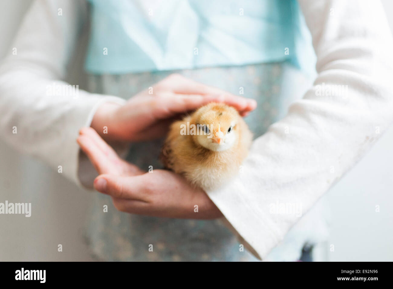 Young Girl's Hands Holding Young Chick - Stock Image