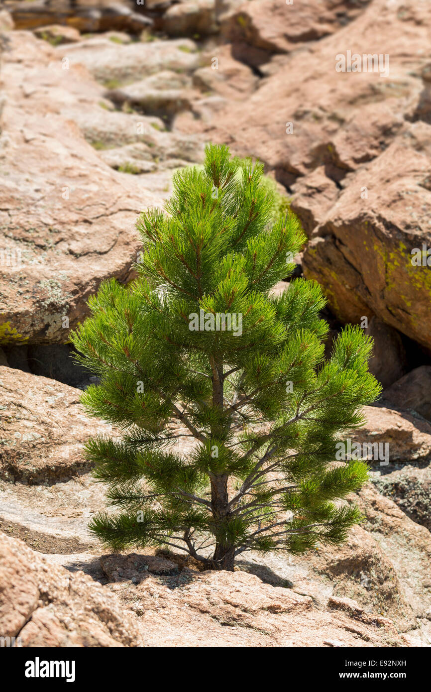 Young ponderosa pine tree grows from rocky plateau by Turtle Rocks, Buena Vista, Colorado, USA - Stock Image