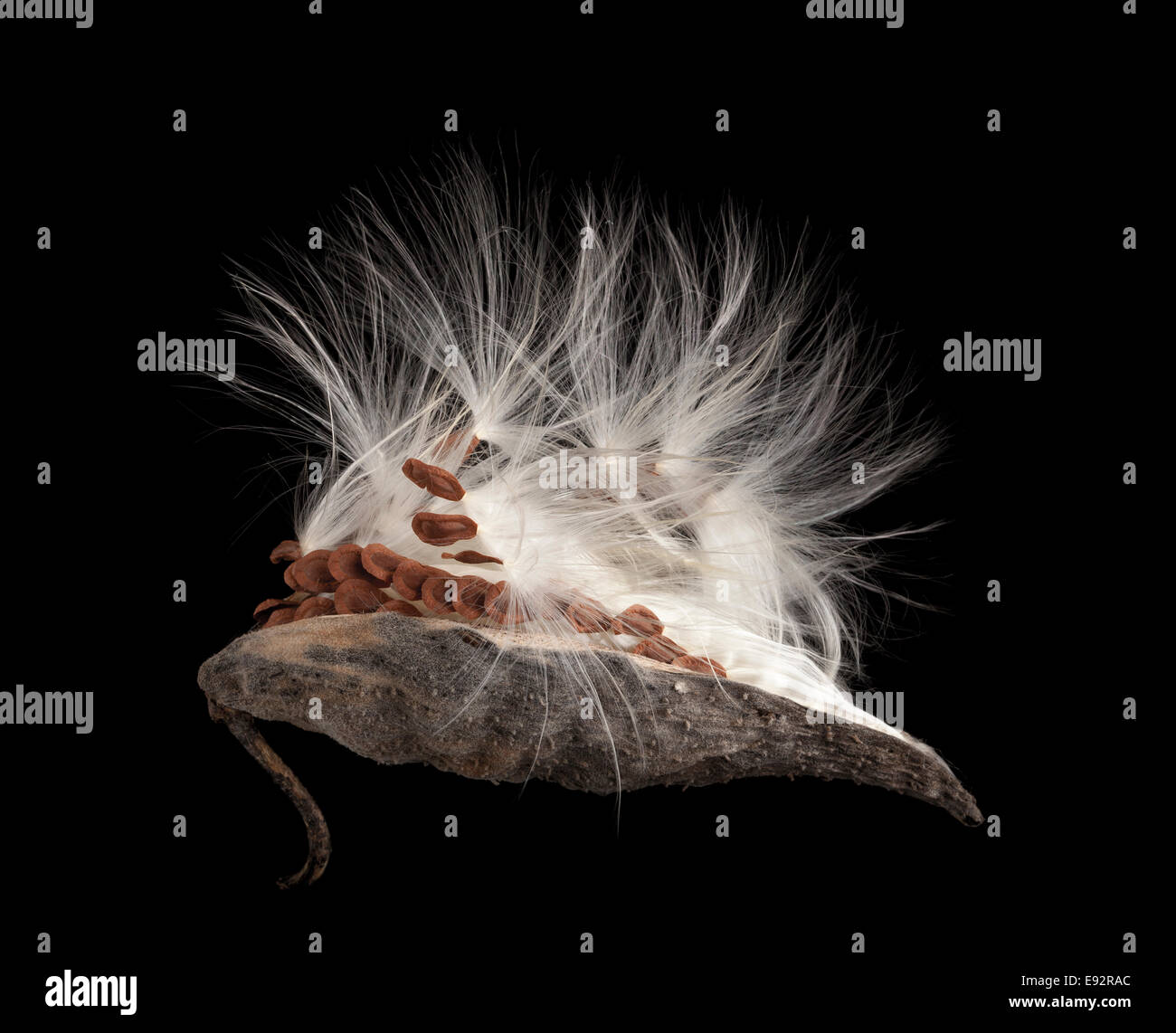 Milkweed seed pod releasing seeds. On a dark background - Stock Image