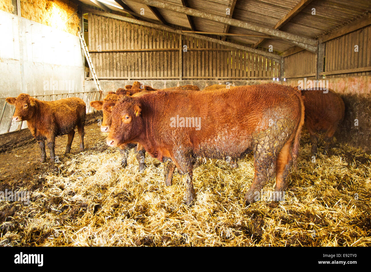 South Devon Cattle in there winter housing. - Stock Image
