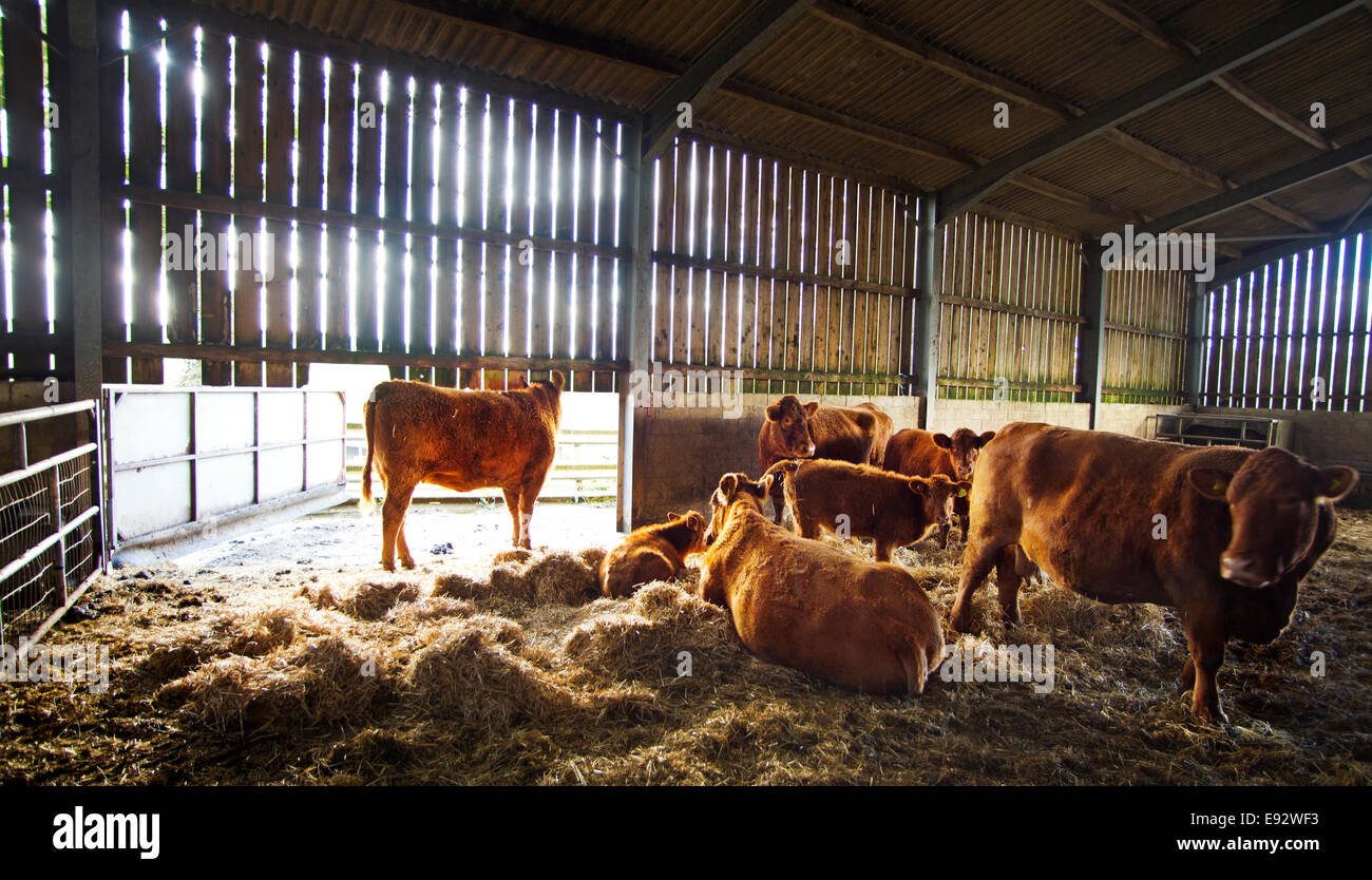 South Devon cattle in a shed for winter - Stock Image