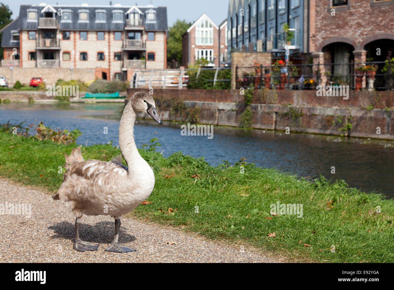 Cygnets Sussex Stock Photos & Cygnets Sussex Stock Images