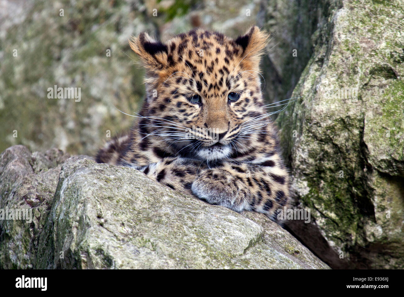 An Amur Leopard cub sitting in some rocks - Stock Image
