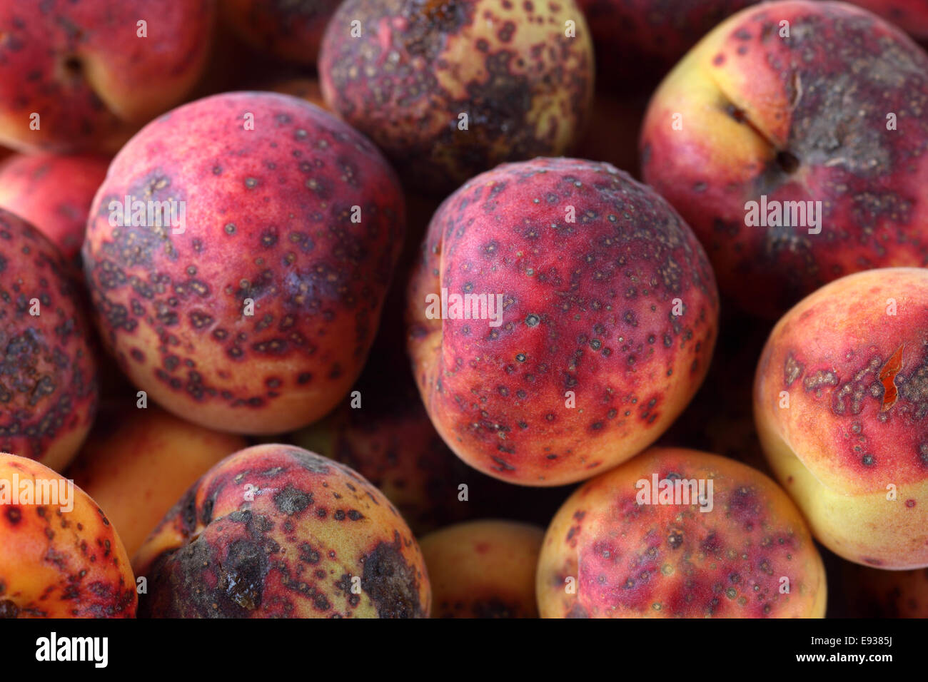 Illness apricot with black dots. Close-up - Stock Image