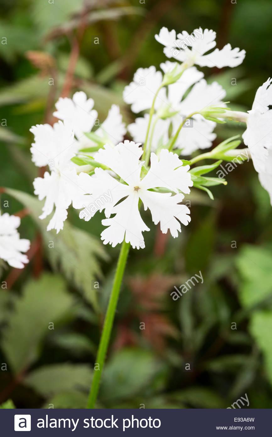 Primula sieboldii 'Snowflake' - Stock Image