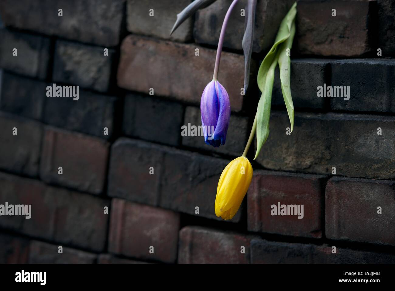 Tulips hang from a soot covered barricade after the Maidan shootings - Stock Image