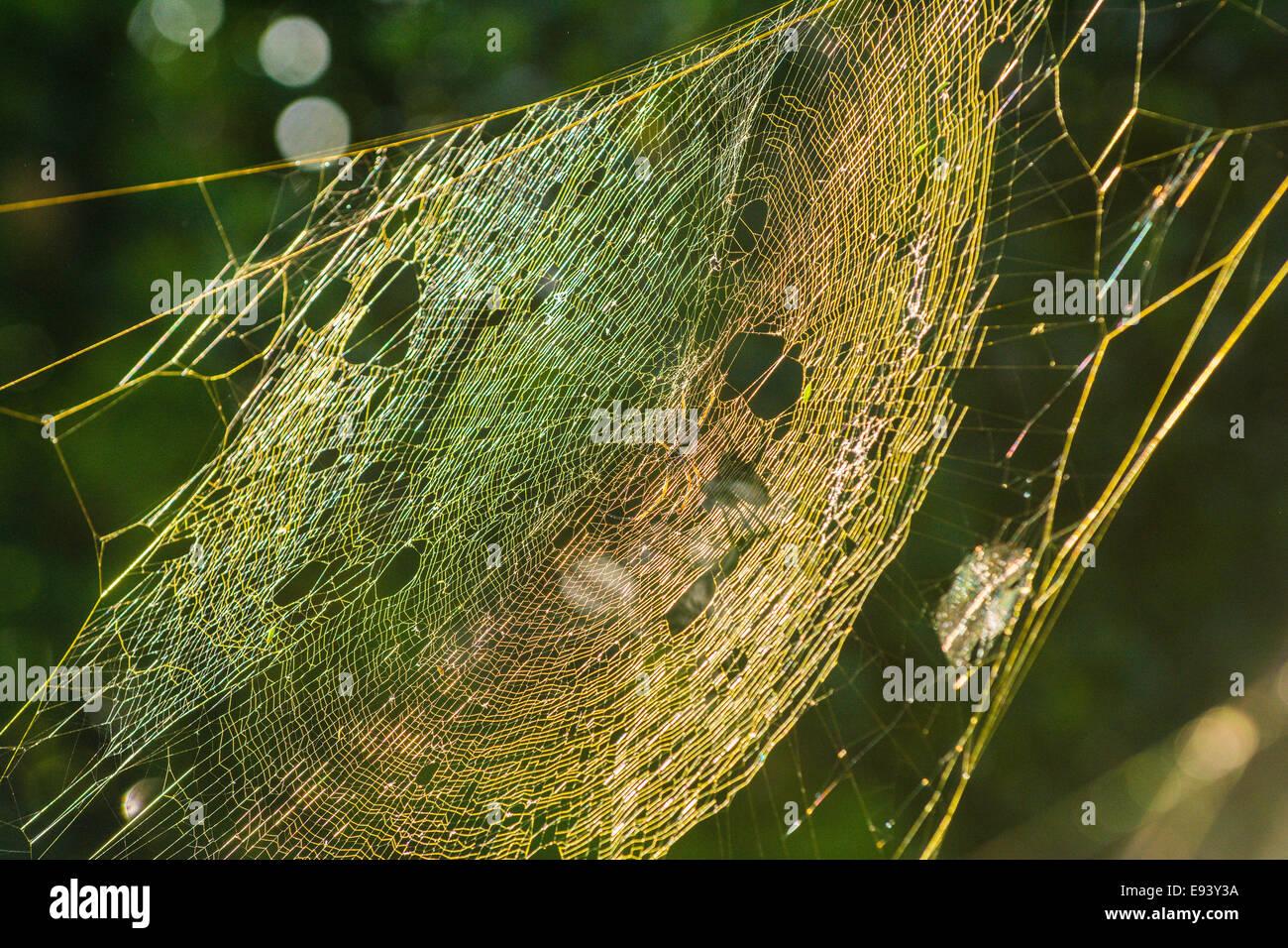 Golden Orb Weaver spider casting a shadow on its web , Mt. Cootha Botanic Garden, Brisbane, Queensland, Australia - Stock Image