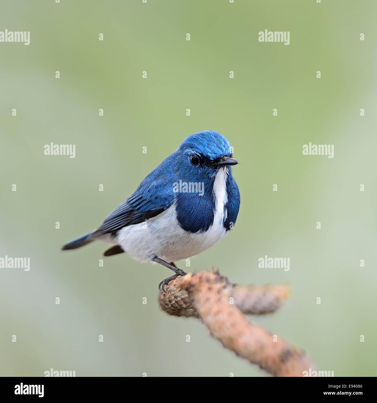Colorful blue and white bird, male Ultramarine Flycatcher (Ficedula superciliaris) , perching on a branch - Stock Image