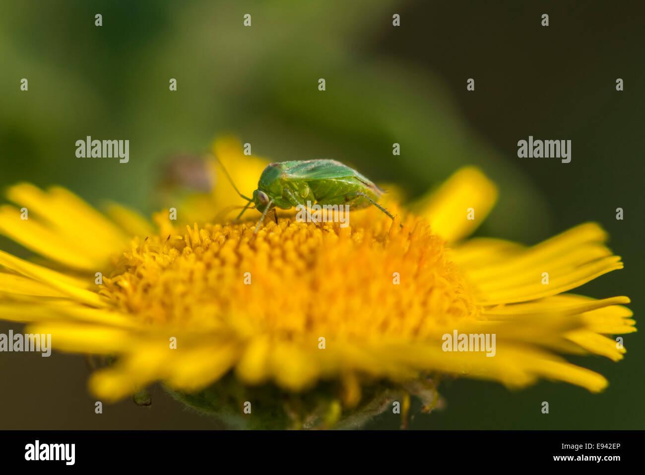 A macro shot of a Common Green Capsid, Lygocoris pabulinus, feeding on a yellow flower - Stock Image