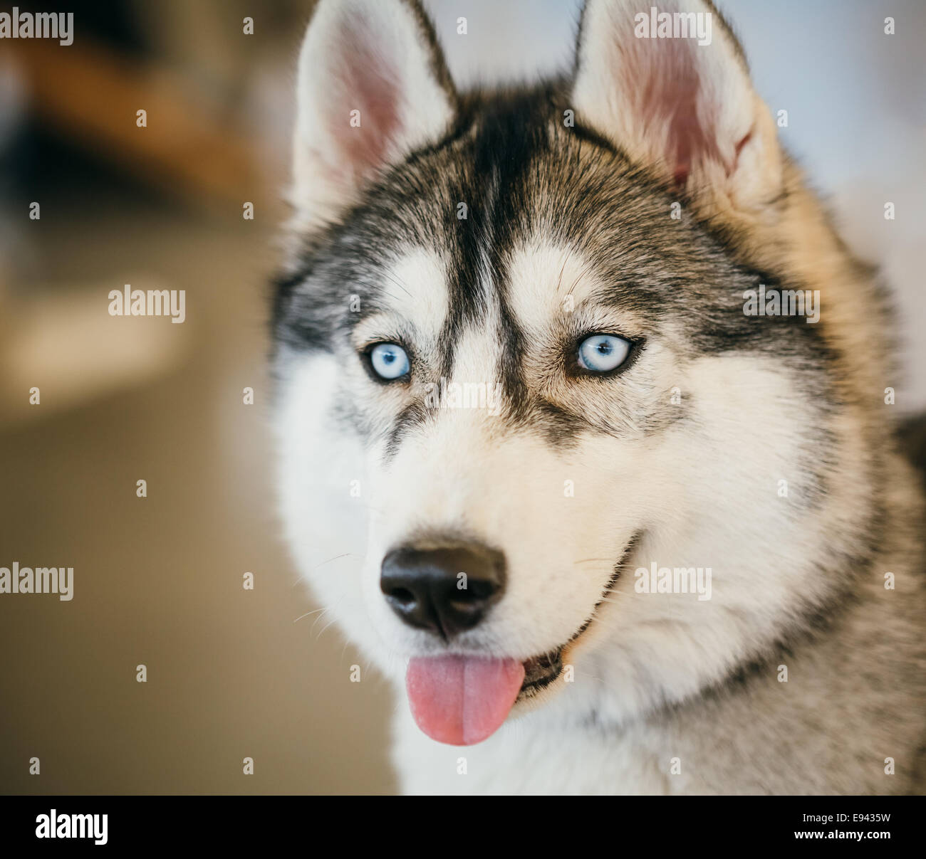 Gray Adult Siberian Husky Dog Sibirsky Husky Close Up Portrait