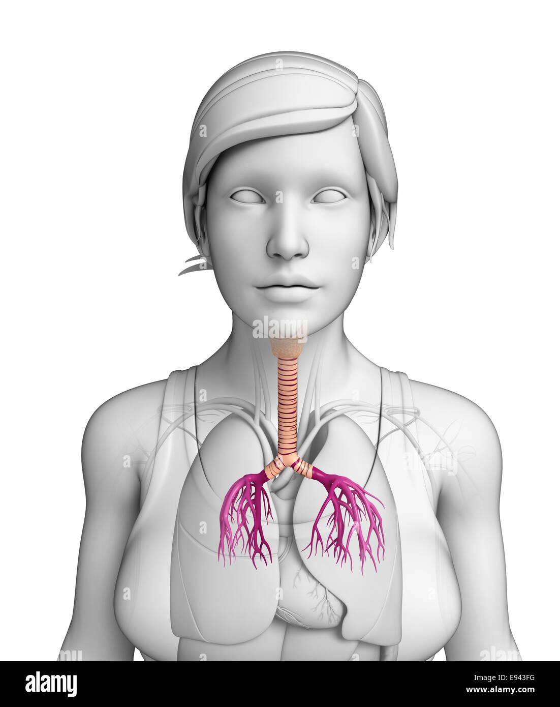 Illustration Of Female Throat Anatomy Stock Photo 74463972 Alamy