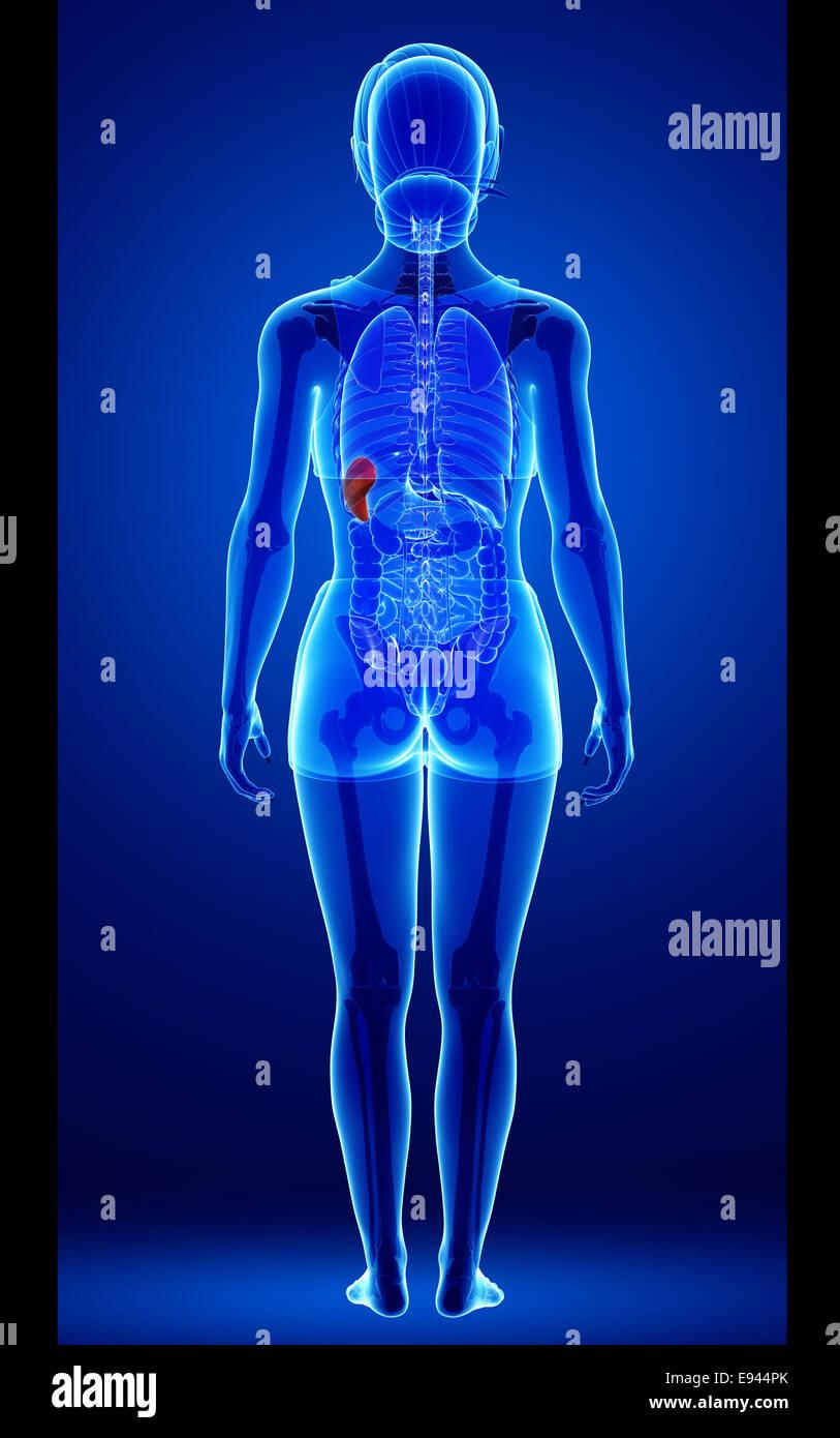Female Spleen Anatomy Stock Photos Female Spleen Anatomy Stock