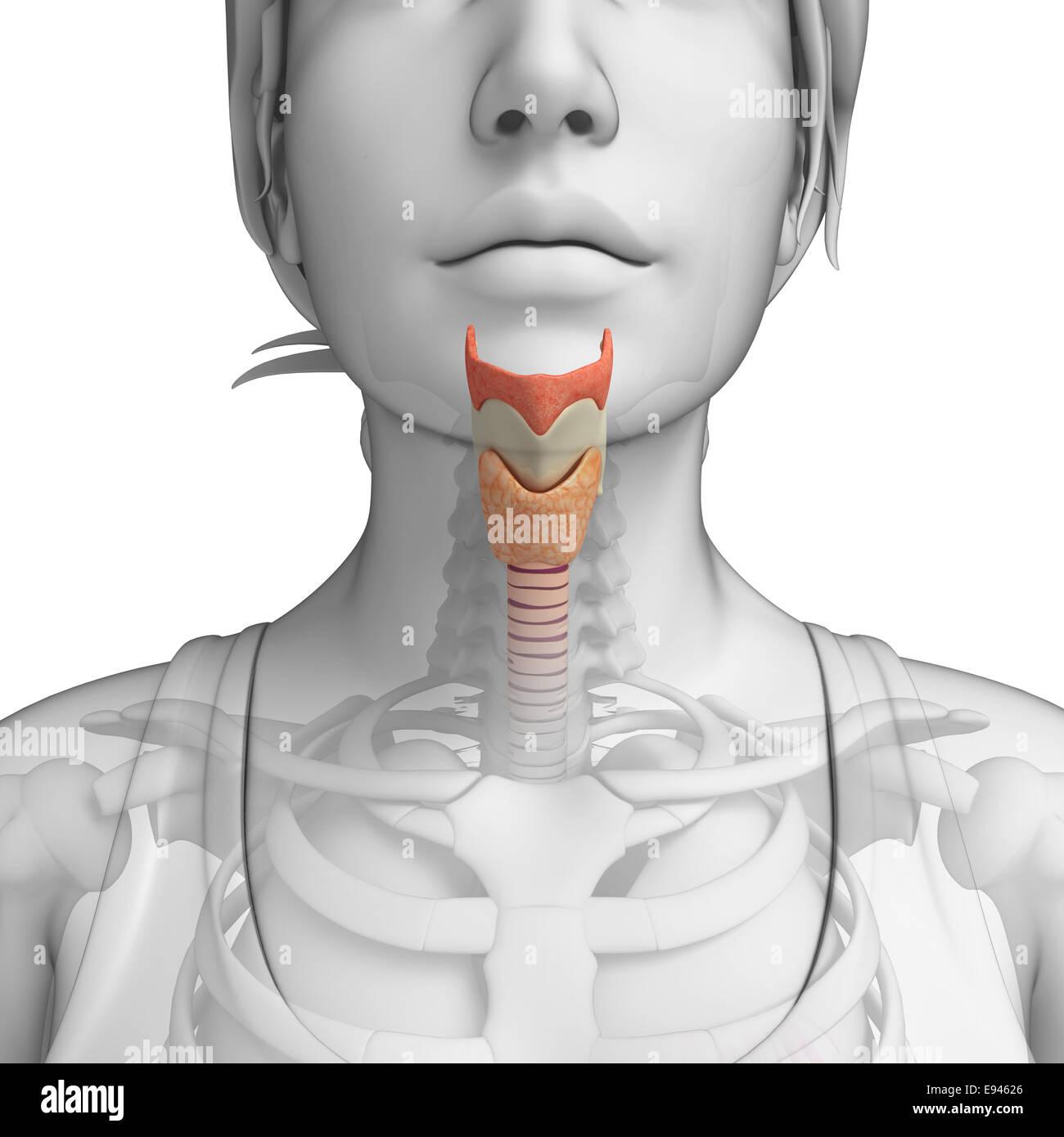 Illustration of Female throat anatomy Stock Photo: 74465950 - Alamy