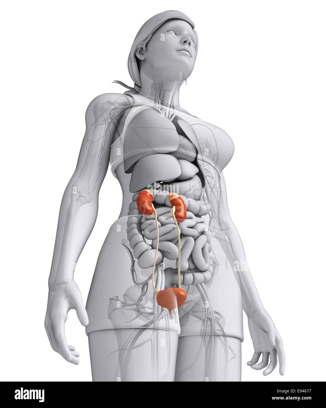 Female Urinary System Stock Photos Female Urinary System Stock
