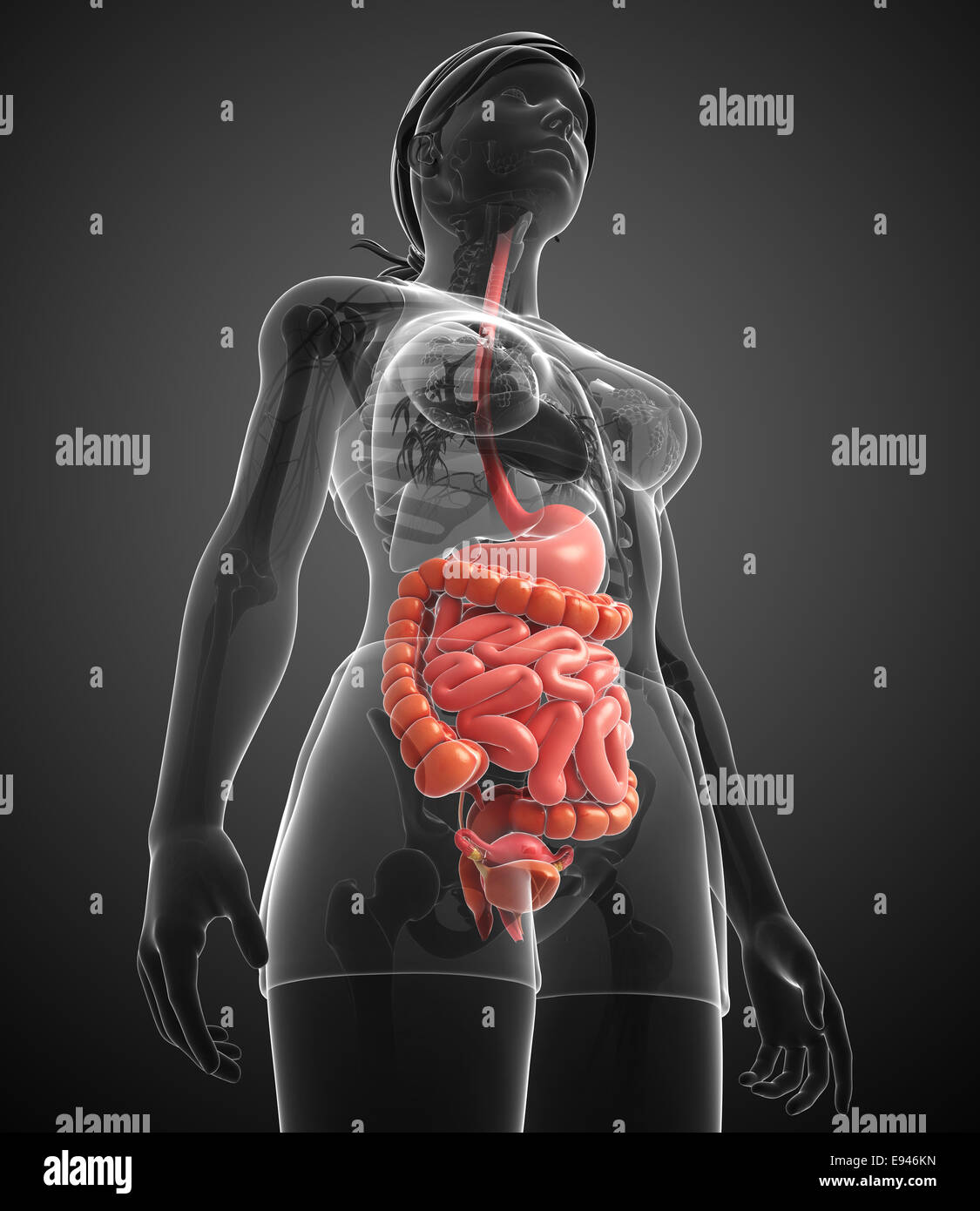 Illustration of female small intestine anatomy Stock Photo: 74466441 ...