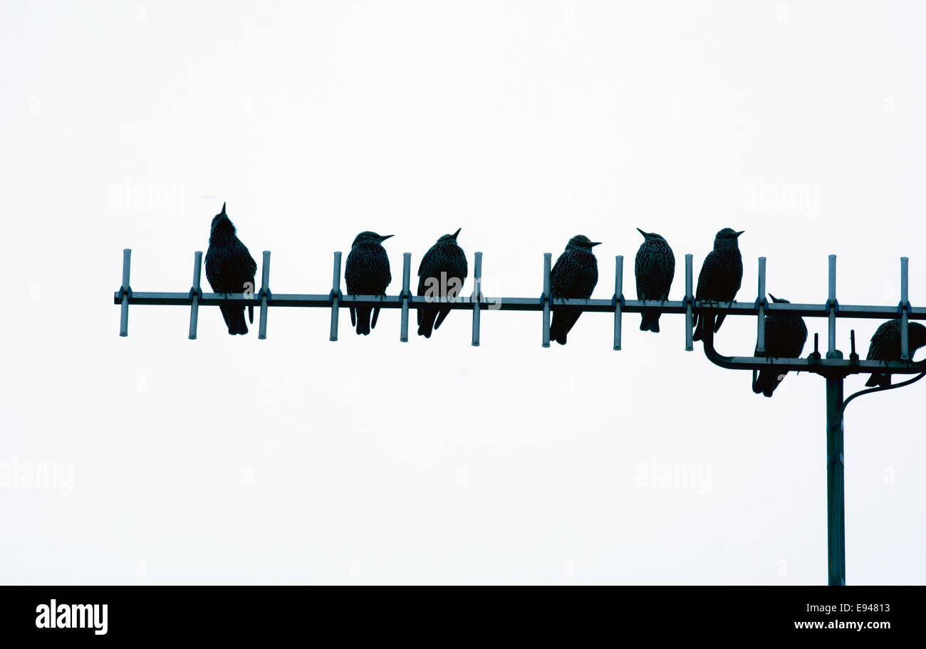 Starlings on a TV aerial, UK - Stock Image