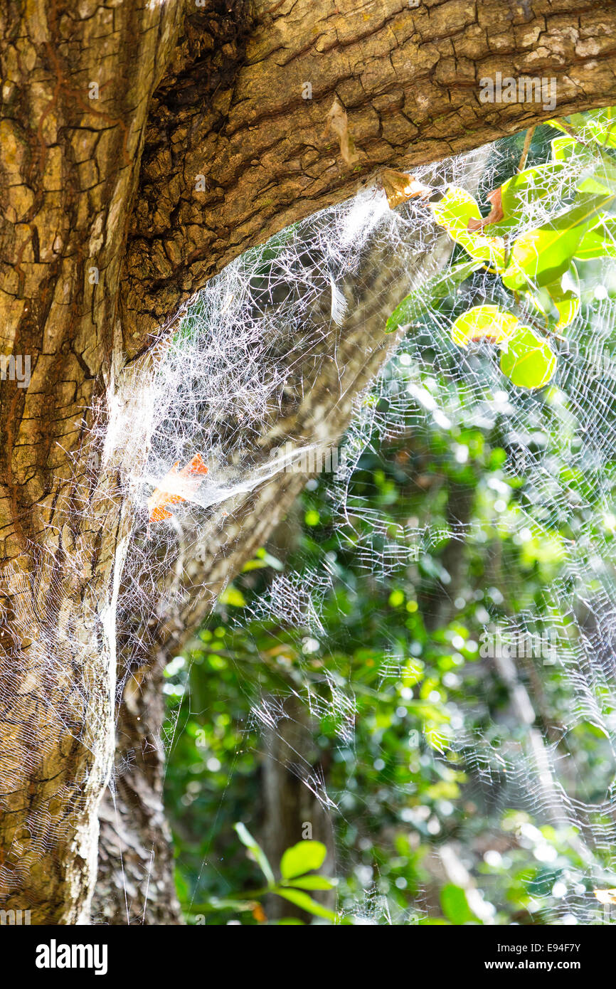 Spider Webs in the forest of La Digue, Seychelles - Stock Image