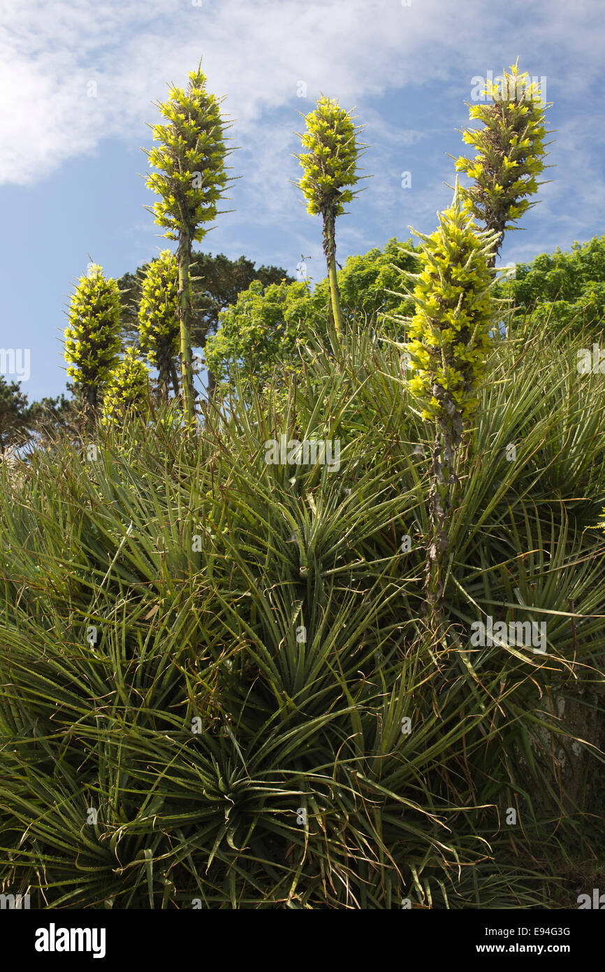 Puya Chilensis A Large Spiky Plant With Very Tall Stems Of Yellow