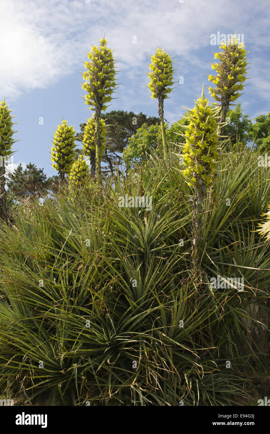 Puya chilensis a large spiky plant with very tall stems of yellow puya chilensis a large spiky plant with very tall stems of yellow flowers a native of chile but here growing in cornwall uk mightylinksfo