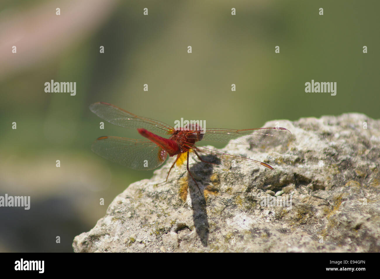 Crocothemis erythraea - Scarlet Dragonfly Stock Photo