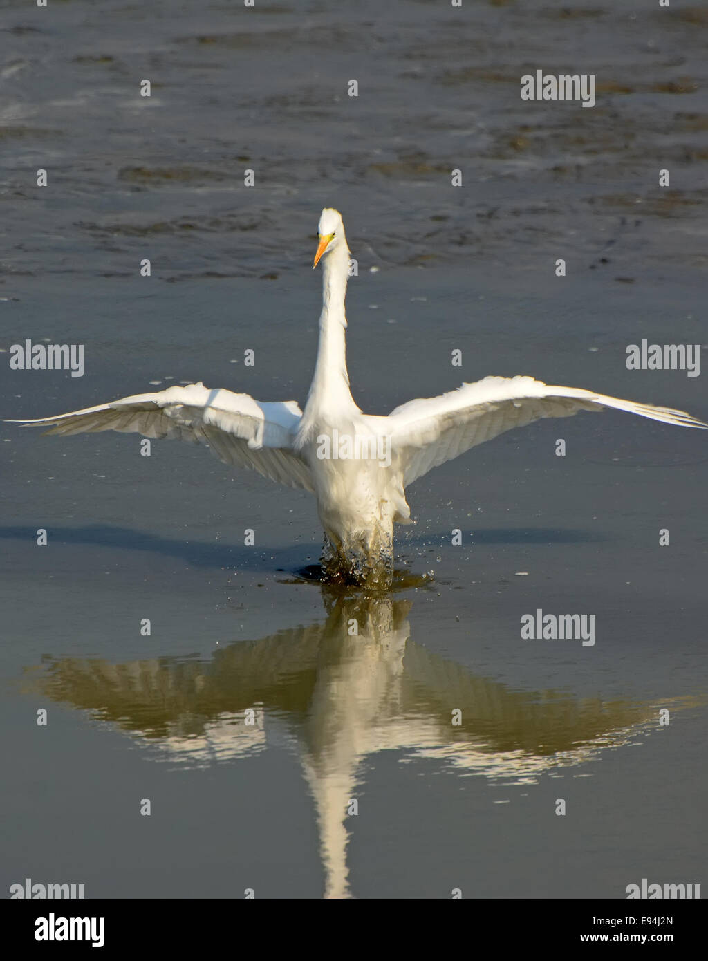 Great Egret, Ardea alba - Stock Image