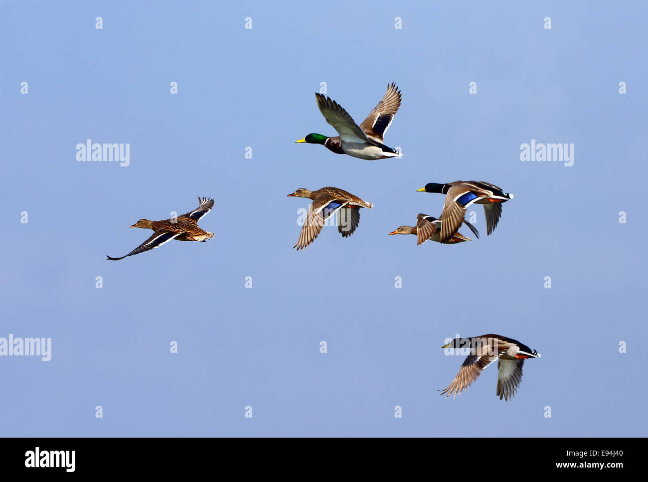 Mallard flock, Flying - Stock Image