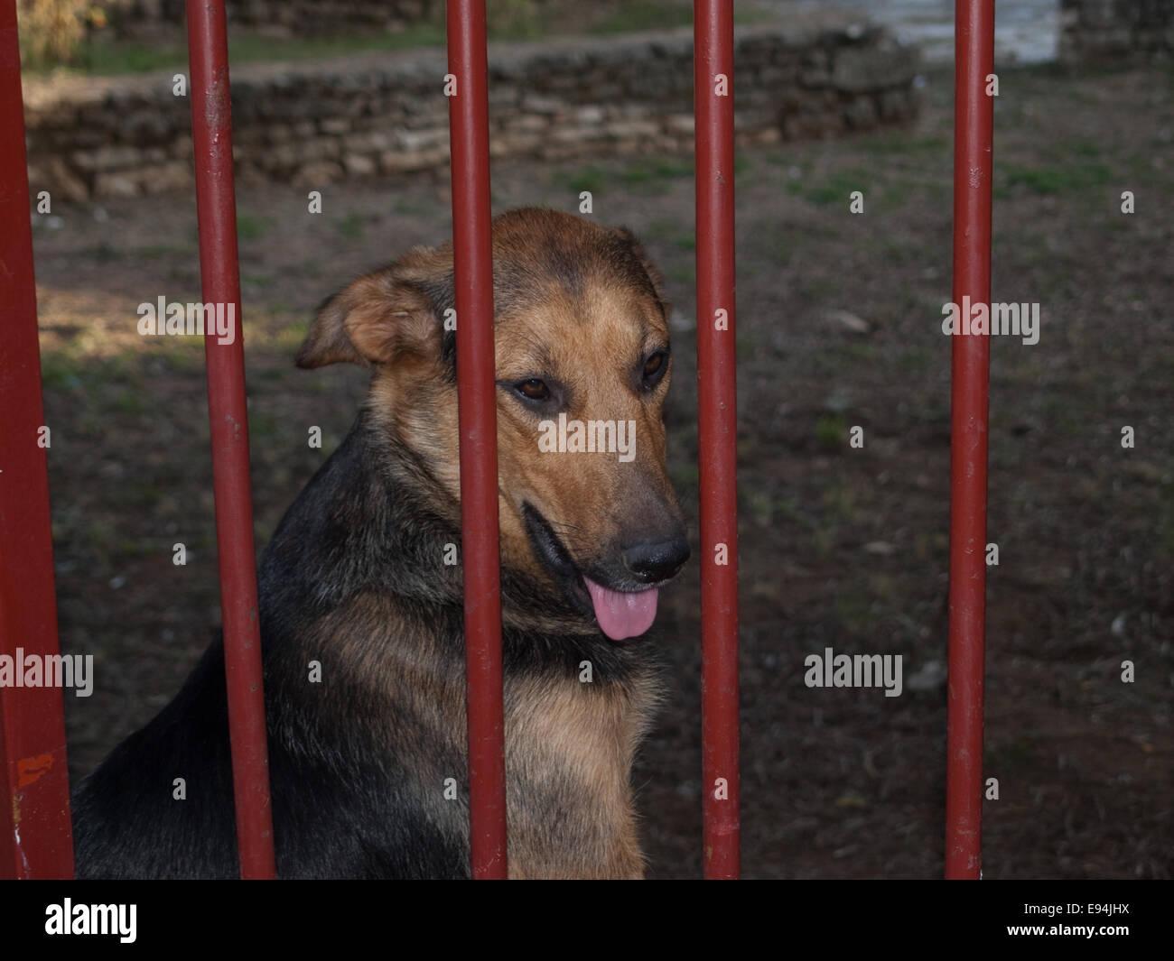 mongrel dog sitting behind garden gate panting - Stock Image